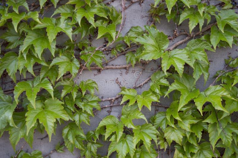 En ljus vägg täckte med den nya gröna murgrönaväxten Små mycket små svarta bär branches tr? moderiktig bakgrund royaltyfri bild