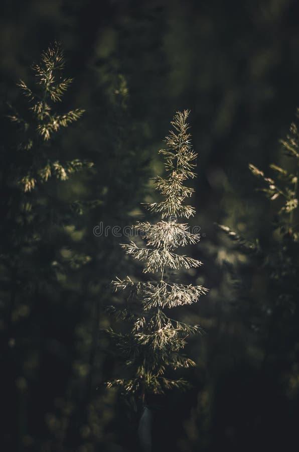 En ljust tänd solstrålegrov spik av löst gräs Selektivt fokusera bakgrundsdark - green arkivfoto