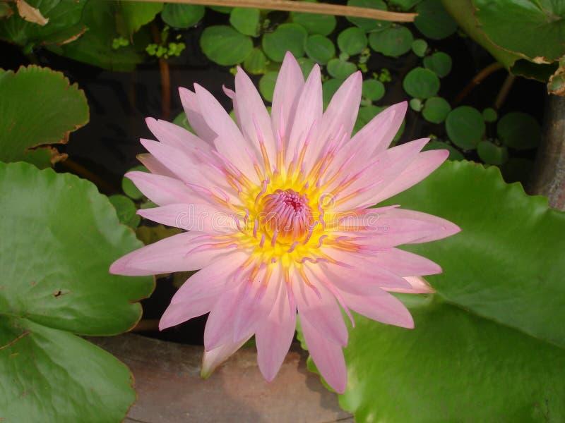 En Lotus är rosa royaltyfria foton