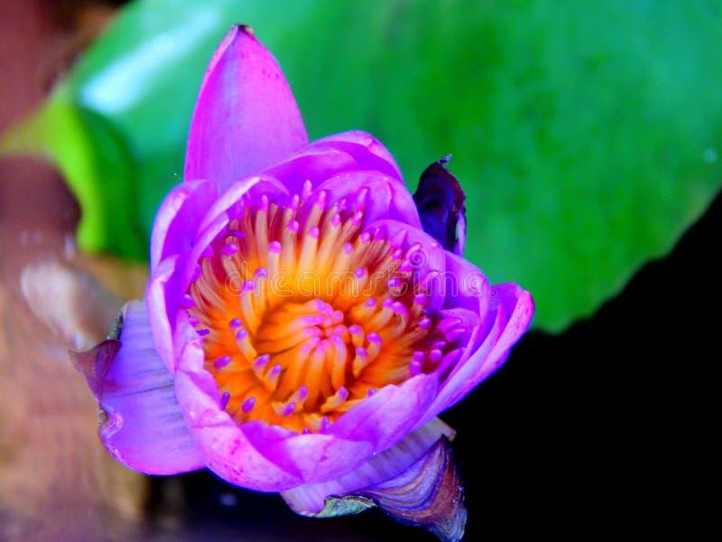 En lotusblommablomma royaltyfria foton