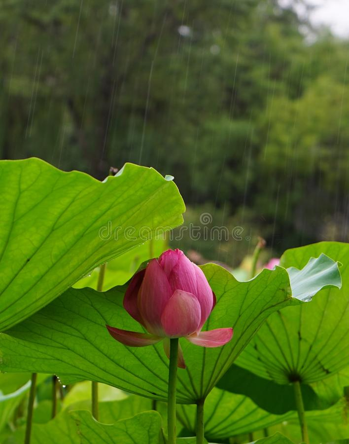 En lotusblommablomma döljer under ett blad i regna arkivbilder