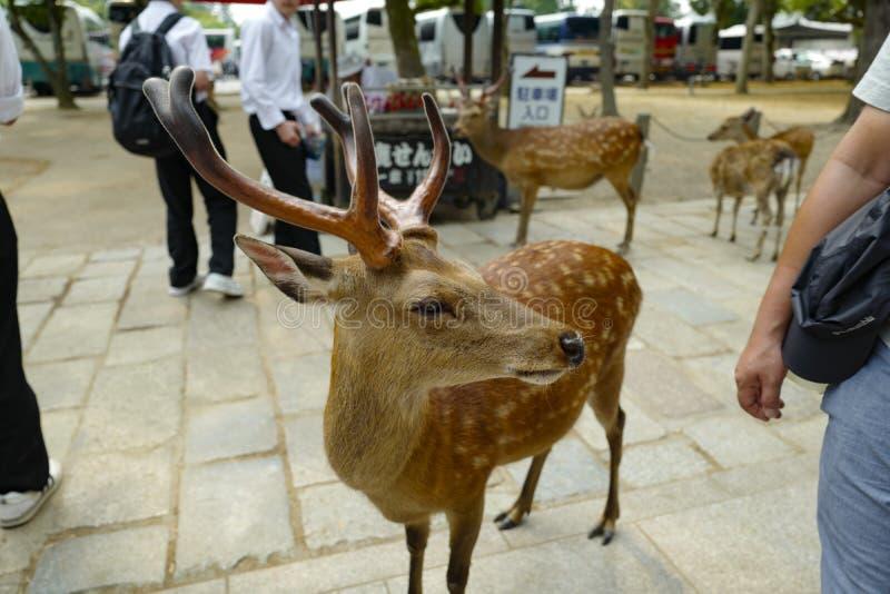 En ?lskv?rd hjort g?r p? jordningen i Nara Park Nara Park ?r en allm?nhet parkerar lokaliserat i staden av Nara royaltyfri bild