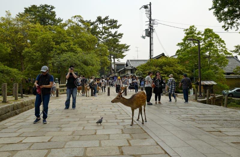 En ?lskv?rd hjort g?r p? jordningen i Nara Park Nara Park ?r en allm?nhet parkerar lokaliserat i staden av Nara fotografering för bildbyråer