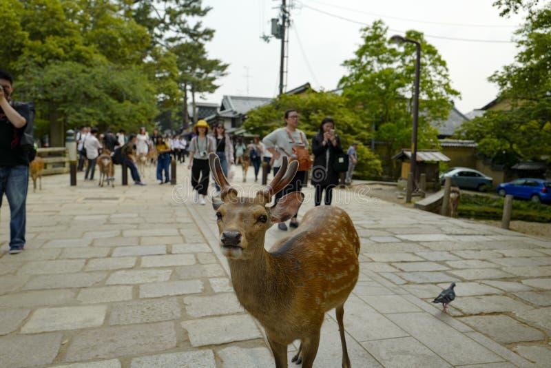 En ?lskv?rd hjort g?r p? jordningen i Nara Park Nara Park ?r en allm?nhet parkerar lokaliserat i staden av Nara royaltyfri fotografi