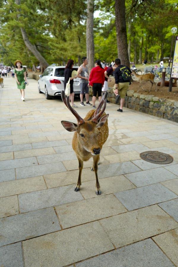 En ?lskv?rd hjort g?r p? jordningen i Nara Park Nara Park ?r en allm?nhet parkerar lokaliserat i staden av Nara arkivbild