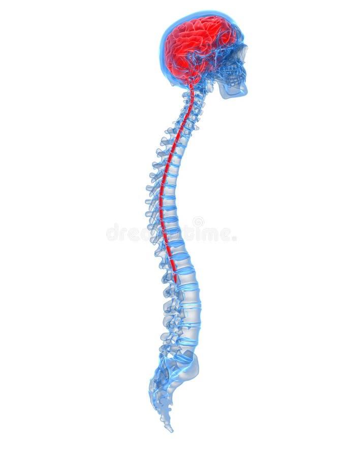 En mänsklig hjärna och en rygg royaltyfri illustrationer
