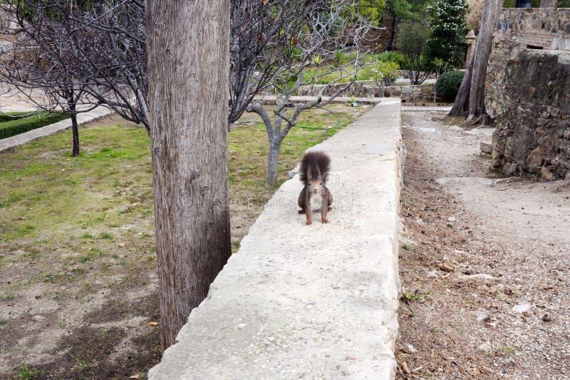 En mörk brun päls- ekorre sitter bakre ben nära ett stort träd i parkerar arkivbild