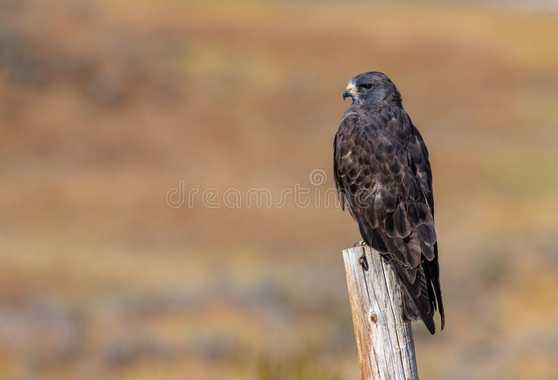 En mörk morf Röd-tailed Hawk Resting på ett staket Post royaltyfri foto