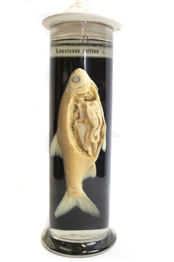 En mörtfisk som dissekeras i ett exponeringsglas av formaldehyde royaltyfri fotografi
