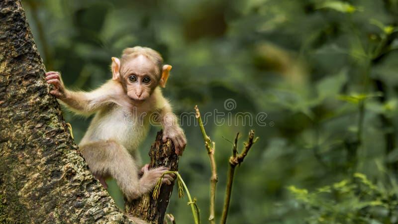 En macaque behandla som ett barn att få nyfiken på att se kameran royaltyfri fotografi