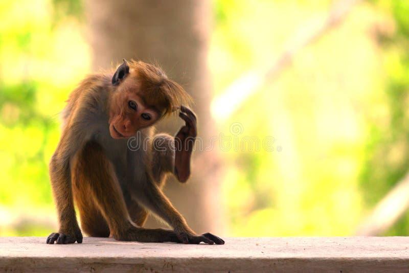 En Macaque sitter på solnedgången royaltyfria foton