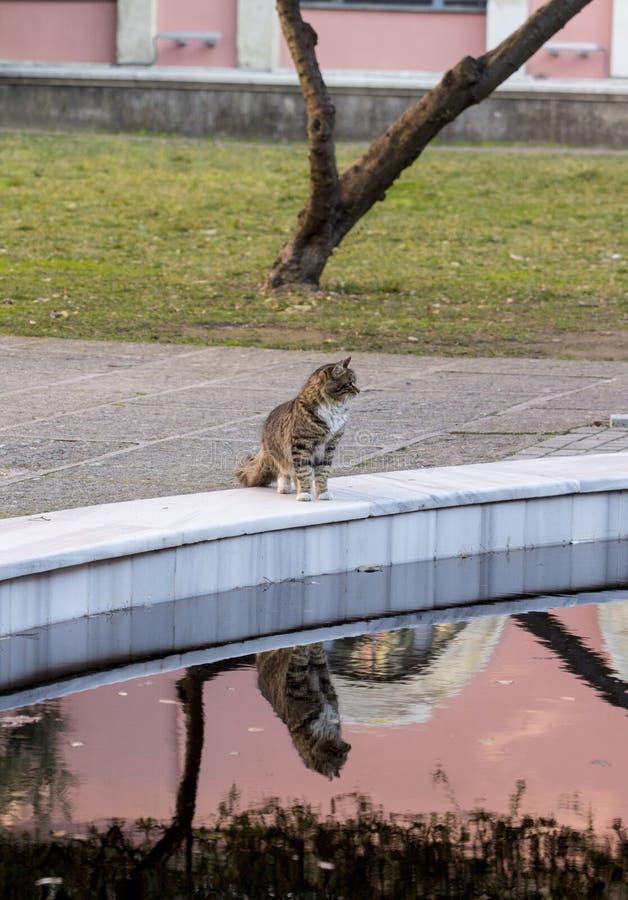 En mackarelstrimmig kattkatt med lång päls som stirrar på rätten och står vid en dekorativ pöl arkivfoto
