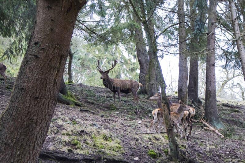 En majestätisk brun hjort i skogen arkivbild
