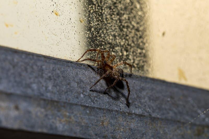 En makro av en Orb Weaver Spider på en våt industriell stilfönsterram fotografering för bildbyråer