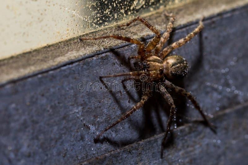 En makro av en Orb Weaver Spider på en våt industriell stilfönsterram royaltyfri bild