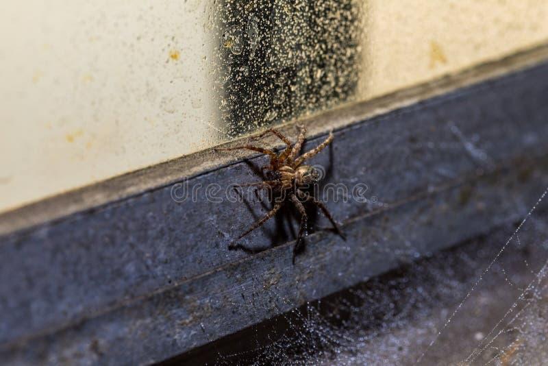 En makro av en Orb Weaver Spider på en våt industriell stilfönsterram arkivfoton