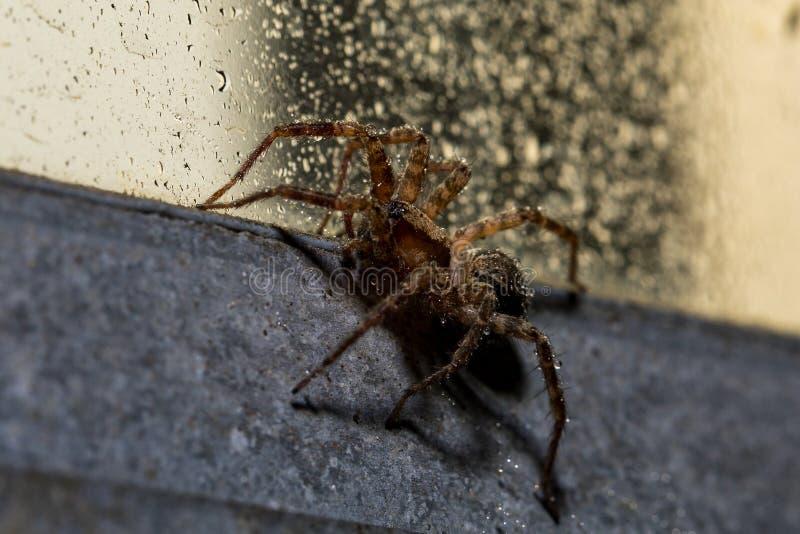 En makro av en Orb Weaver Spider på en våt industriell stilfönsterram royaltyfri foto
