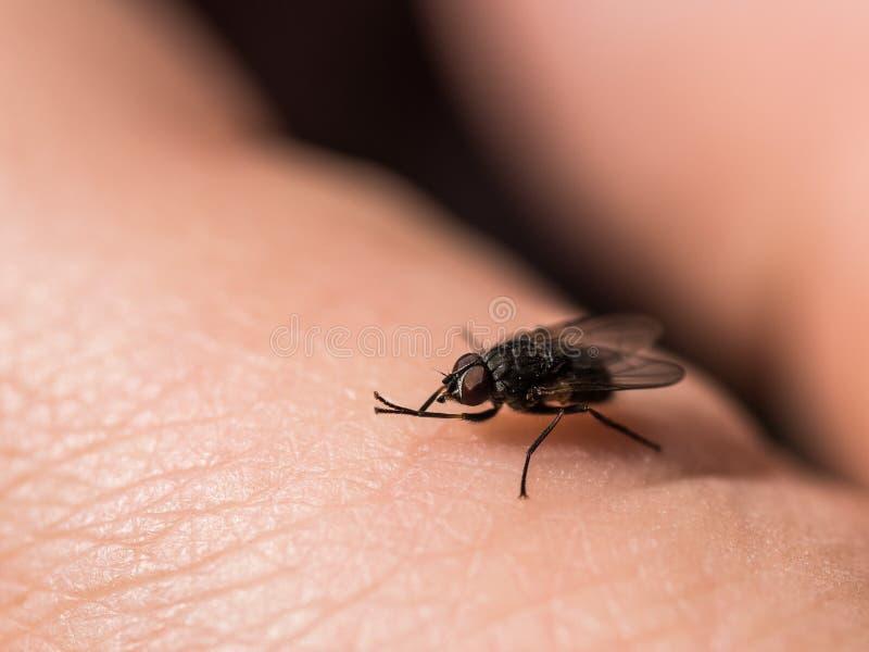 En makro som skjutas av fluga Levande husfluga Krypnärbild arkivbilder