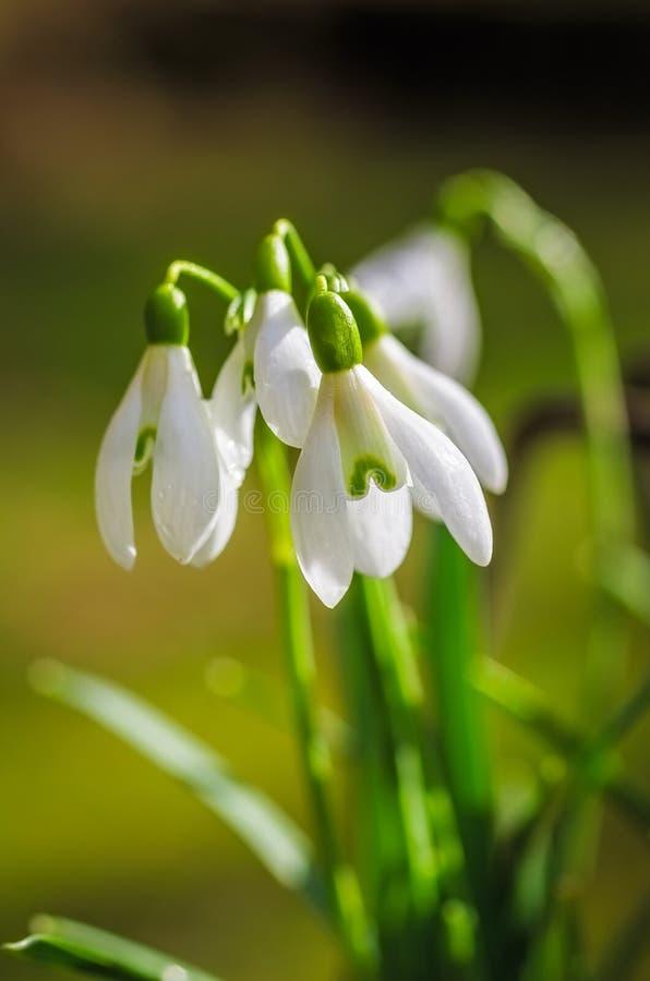Closeup av snowdrops royaltyfria foton