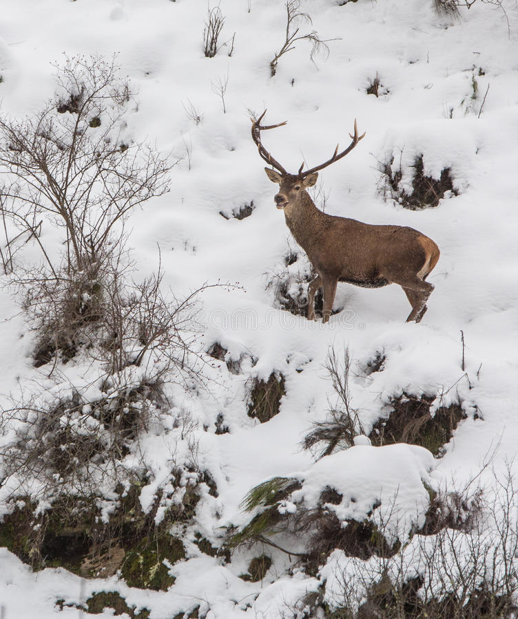 Male hjortar royaltyfria foton