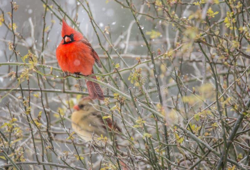 En man och en kvinnlig kardinal sitter på en filial royaltyfri foto