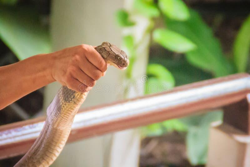 En man som använder den unika kapaciteten att fånga en orm för konungkobra med arkivbilder