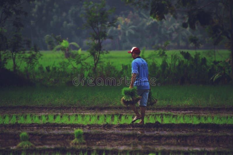En man som arbetar på risfält arkivfoto