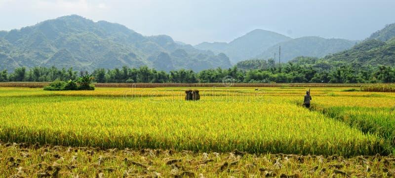 En man som går på risfält i Tay Ninh, Vietnam arkivfoton