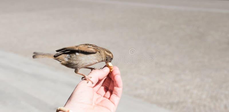En man som matar en fågel royaltyfria foton