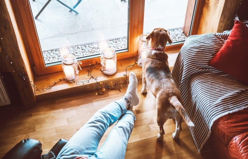 En man som sitter i en bekväm stol motsatt stort fönster i ett glatt land hemma och sin beagle hund som tittar i ett brett fönste arkivfoto