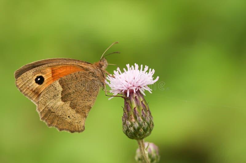 En Maniola för ängbruntfjäril som jurtina nectaring på en tistelblomma arkivbilder