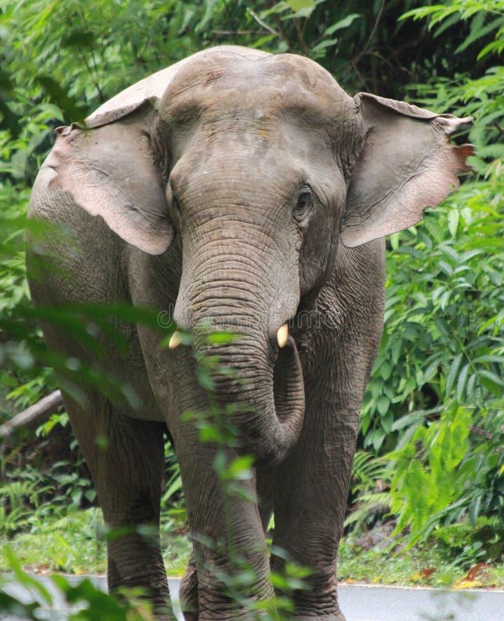 En manlig enkel elefant som går på vägen royaltyfri fotografi