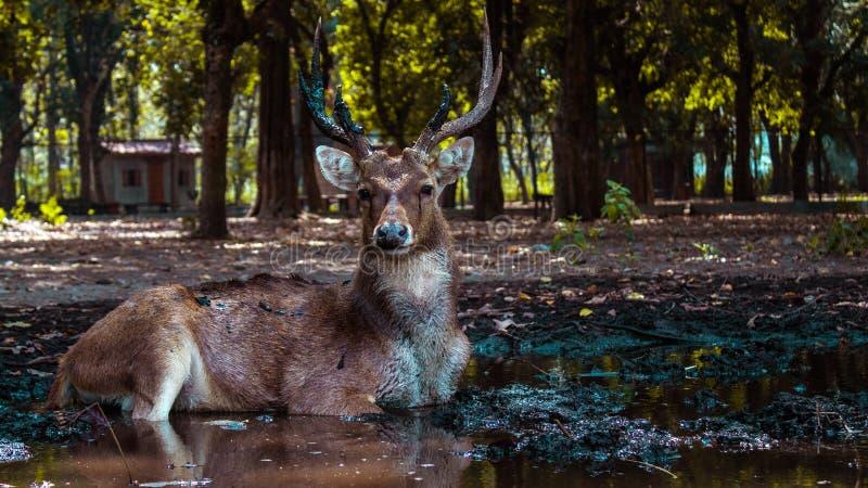 En manlig hjort ser ensam och ser något arkivfoto