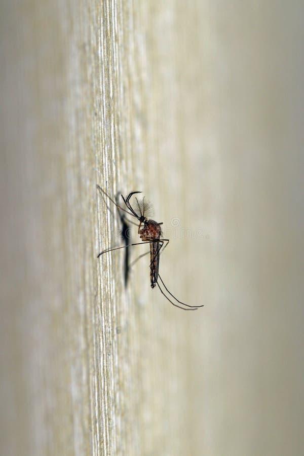 En manlig mygga royaltyfria bilder