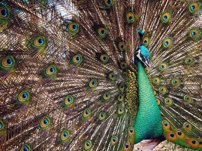 En manlig påfågel och hans härliga fjädrar arkivbilder