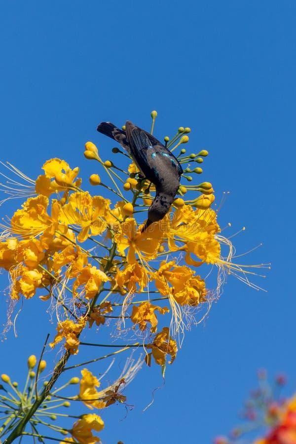 En manliga purpurf?rgade Sunbird visar av dess glansiga svarta kropp bredvid en gul blomma i Al Ain, F?renade Arabemiraten royaltyfri fotografi