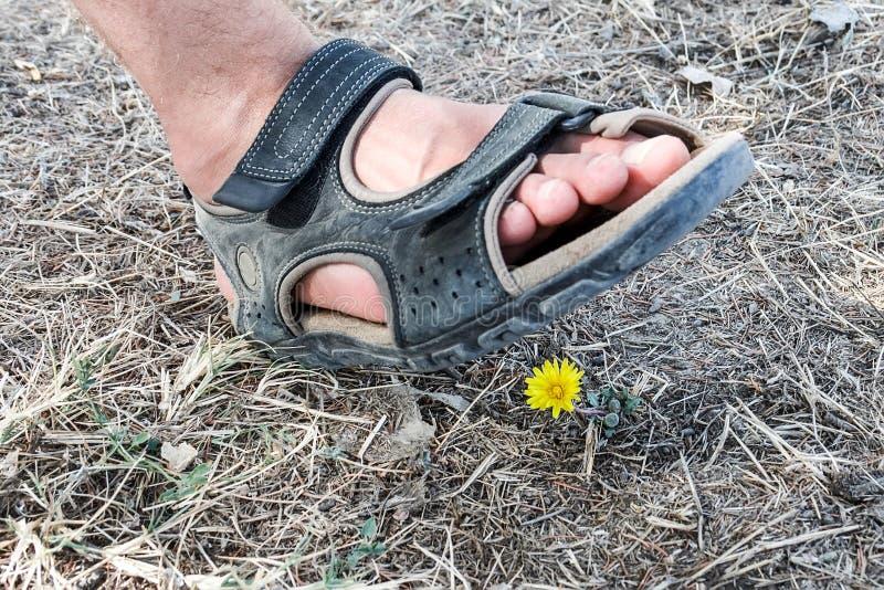 En mans fot i moment för en sandal på en fristående gul maskros som växer bland det torkade gräset royaltyfri fotografi