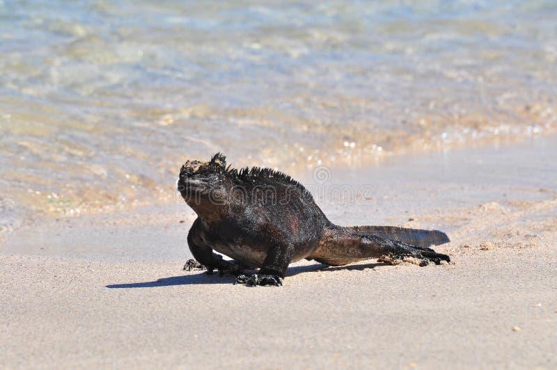 En marin- leguan som går på kanten av vattnet, Galapagos öar, Ecuador royaltyfri bild