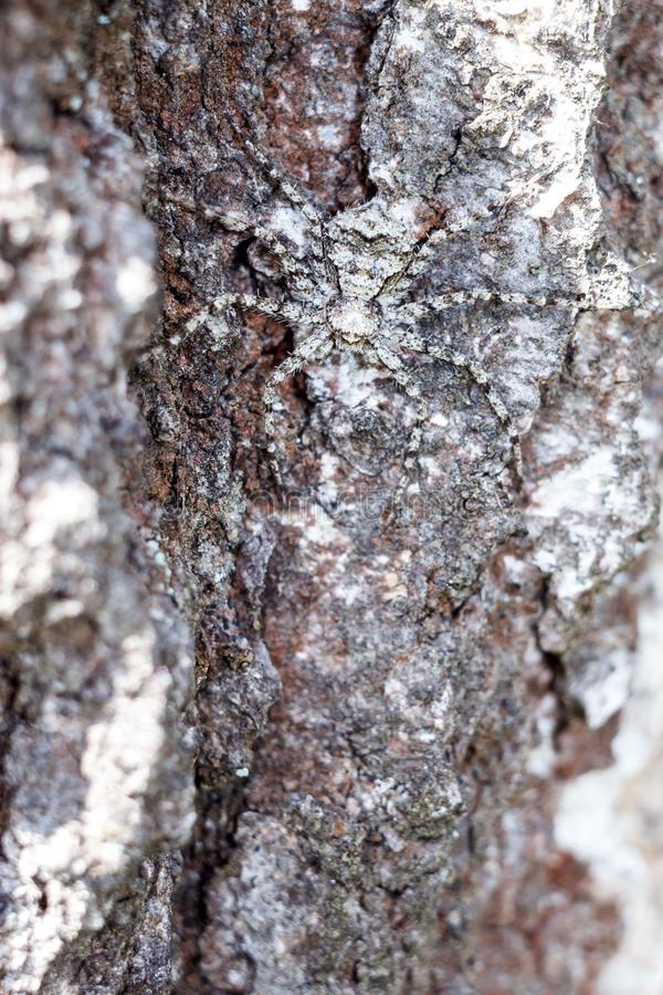 En maskerad spindel i närbildskinn som en spion på skället av ett träd arkivfoton