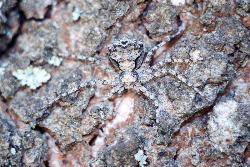 En maskerad spindel i närbildskinn som en spion på skället av ett träd royaltyfri fotografi