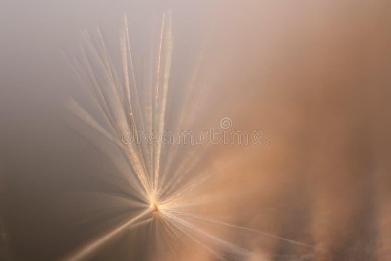 En maskros kärnar ur på ett ljust - brun bakgrund arkivfoto