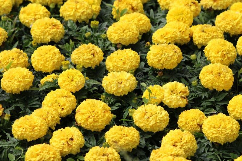 A en masse planté des usines de souci ou de Tagetes avec les fleurs posées jaunes foncées de floraison entièrement ouvertes entou photographie stock