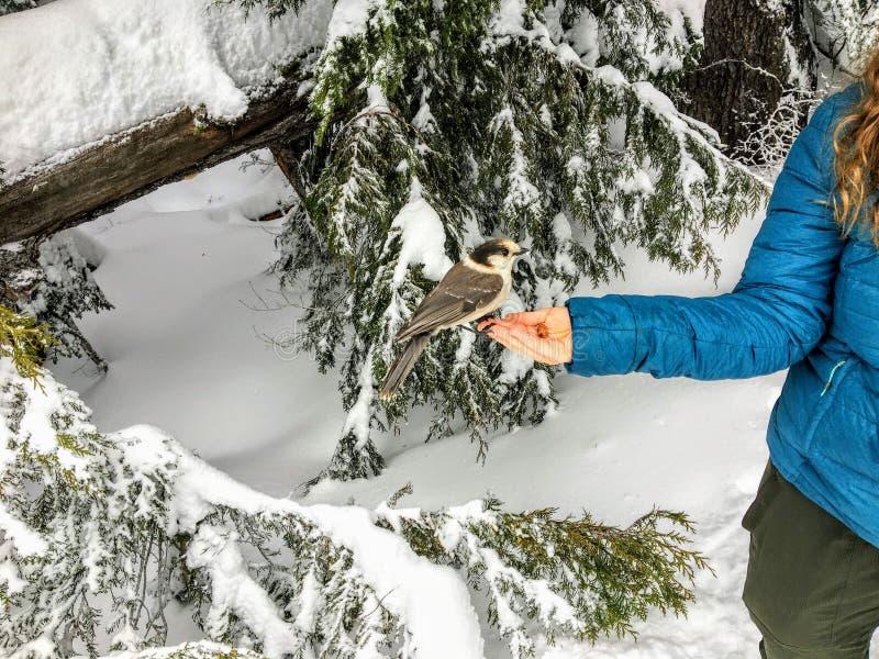 En matande whiskyjack för ung kvinna och stjärn- nötskrikafåglar ut ur hennes hand, medan snowshoeing längs slingan för Bowen öut arkivbild