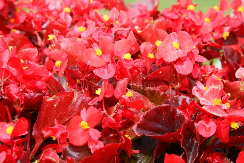 En matta av kronblad av röda blommor arkivbilder