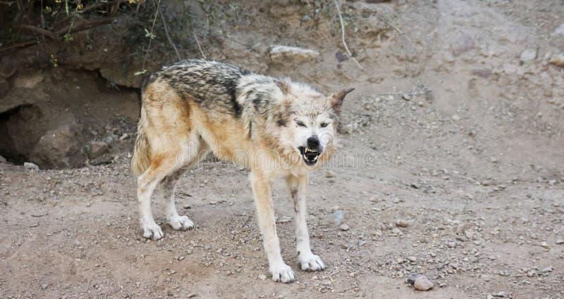 En mexicanska Gray Wolf Snarls en varning utanför dess håla royaltyfri foto