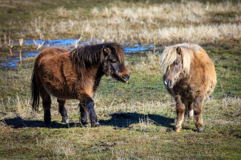 En mini- häst går till annan fotografering för bildbyråer