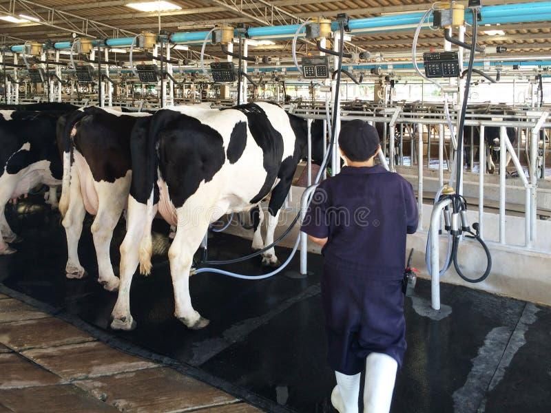 En mjölkerska arbetar för att mjölka mejerikor i lantgården arkivbilder