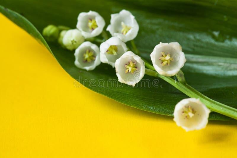 En mjuk delikat makrocloseup av den vita liljekonvaljblommafilialen med gröna sidor som isoleras på gul bakgrund arkivfoton