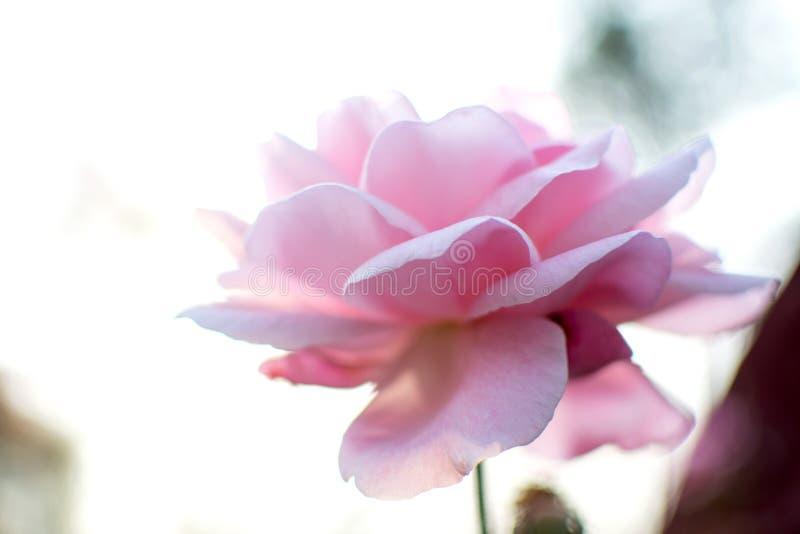 En mjuk rosa eftermiddag royaltyfri foto