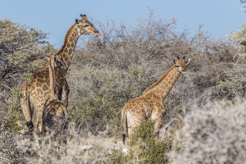 En modergiraffGiraffa Camelopardalis med två behandla som ett barn, den Etosha nationalparken, Namibia royaltyfri fotografi